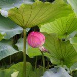 Bouton lotus 1